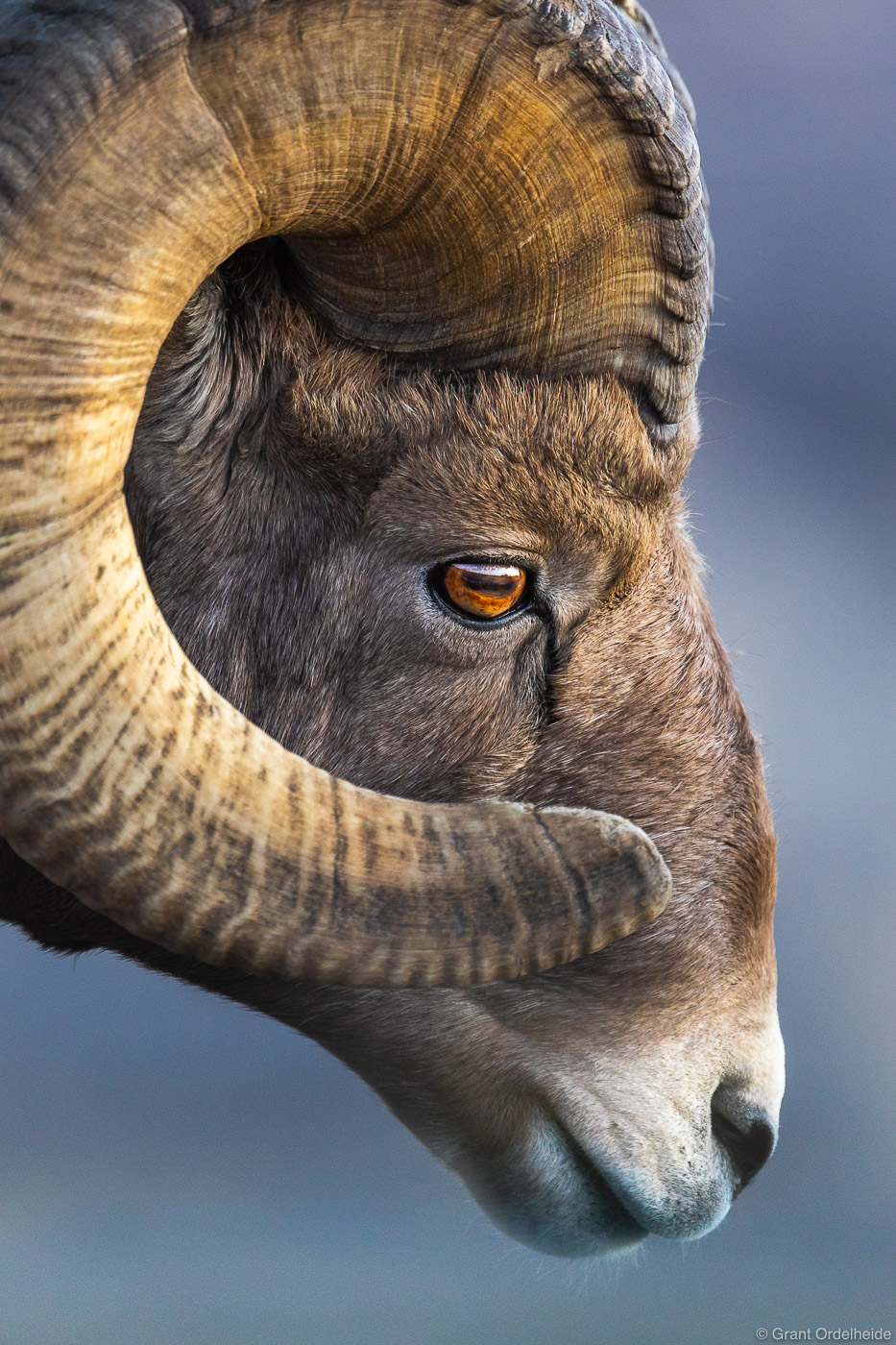 bighorn, profile, badlands, national, park, south, dakota, sheep, ovis canadensis, , photo