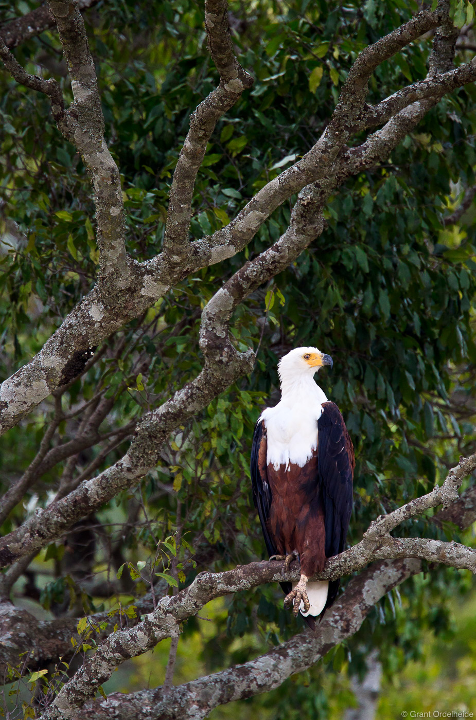 african, fish, eagle, poses, high, tree, mara, above, masai, kenya, photo