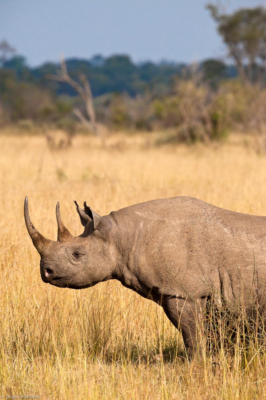 black, horned, rhino, rhinoceros, pose, classic, masai, mara, kenya, africa, photo