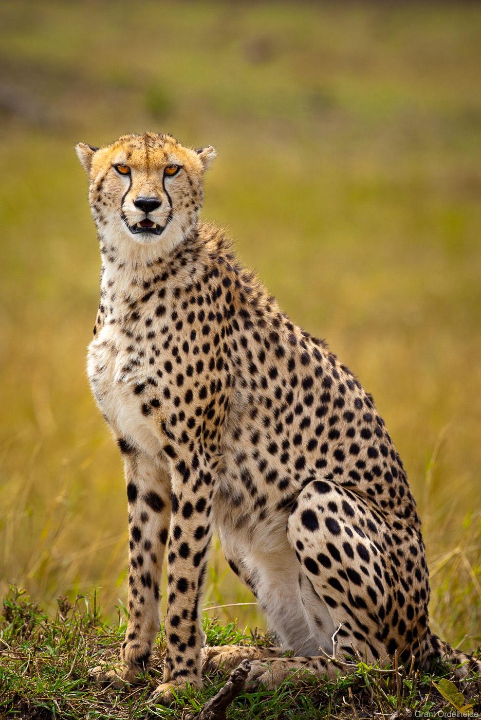 A cheetah looking out over Kenya's Masai Mara.