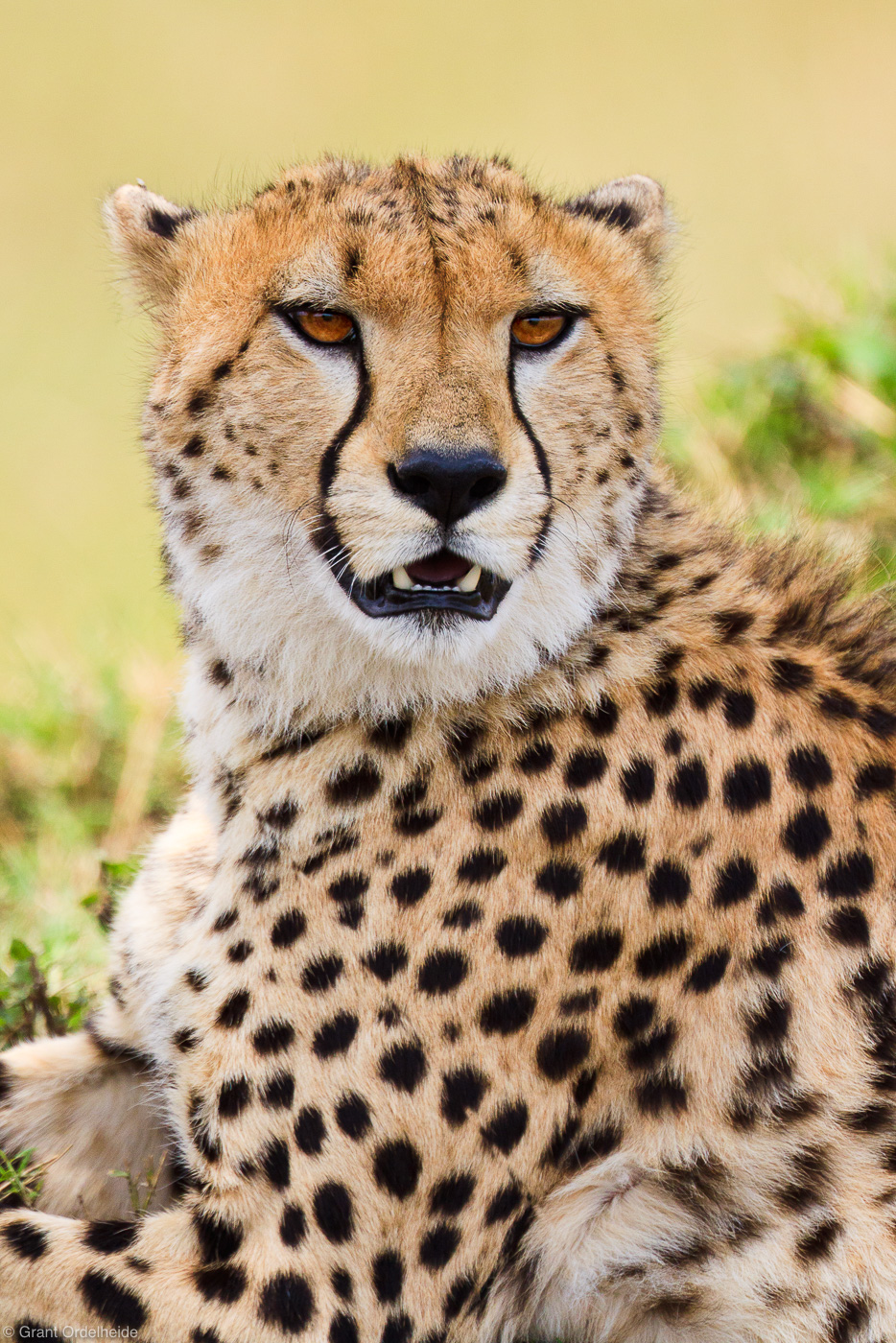 cheetah, portrait, masai, mara, kenya, africa, photo