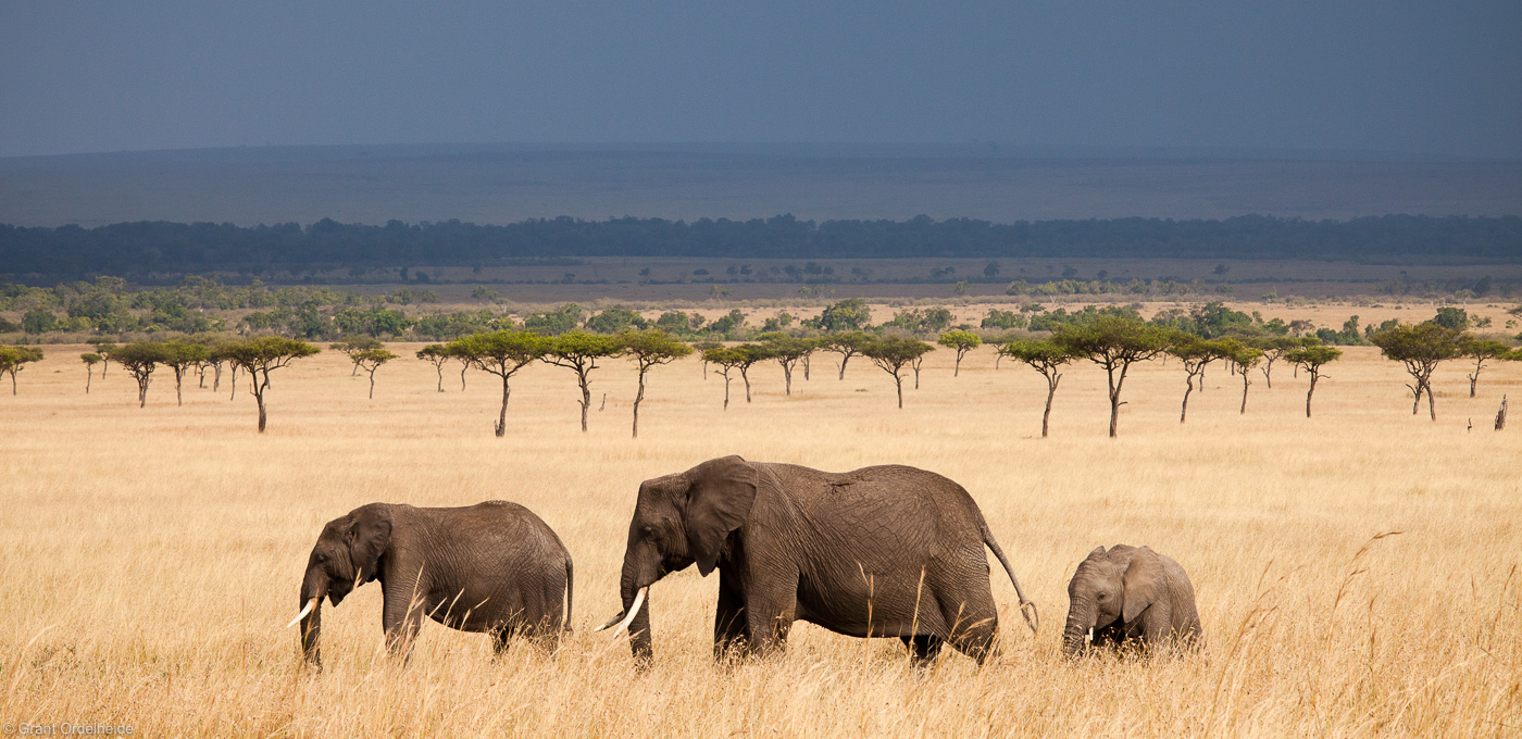 elephant, panorama, masai, mara, kenya, africa, trio, walks, across, grasslands , photo