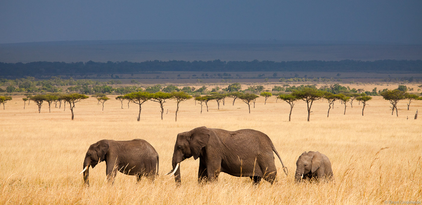 elephant, panorama, masai, mara, kenya, trio, walks, grasslands , photo