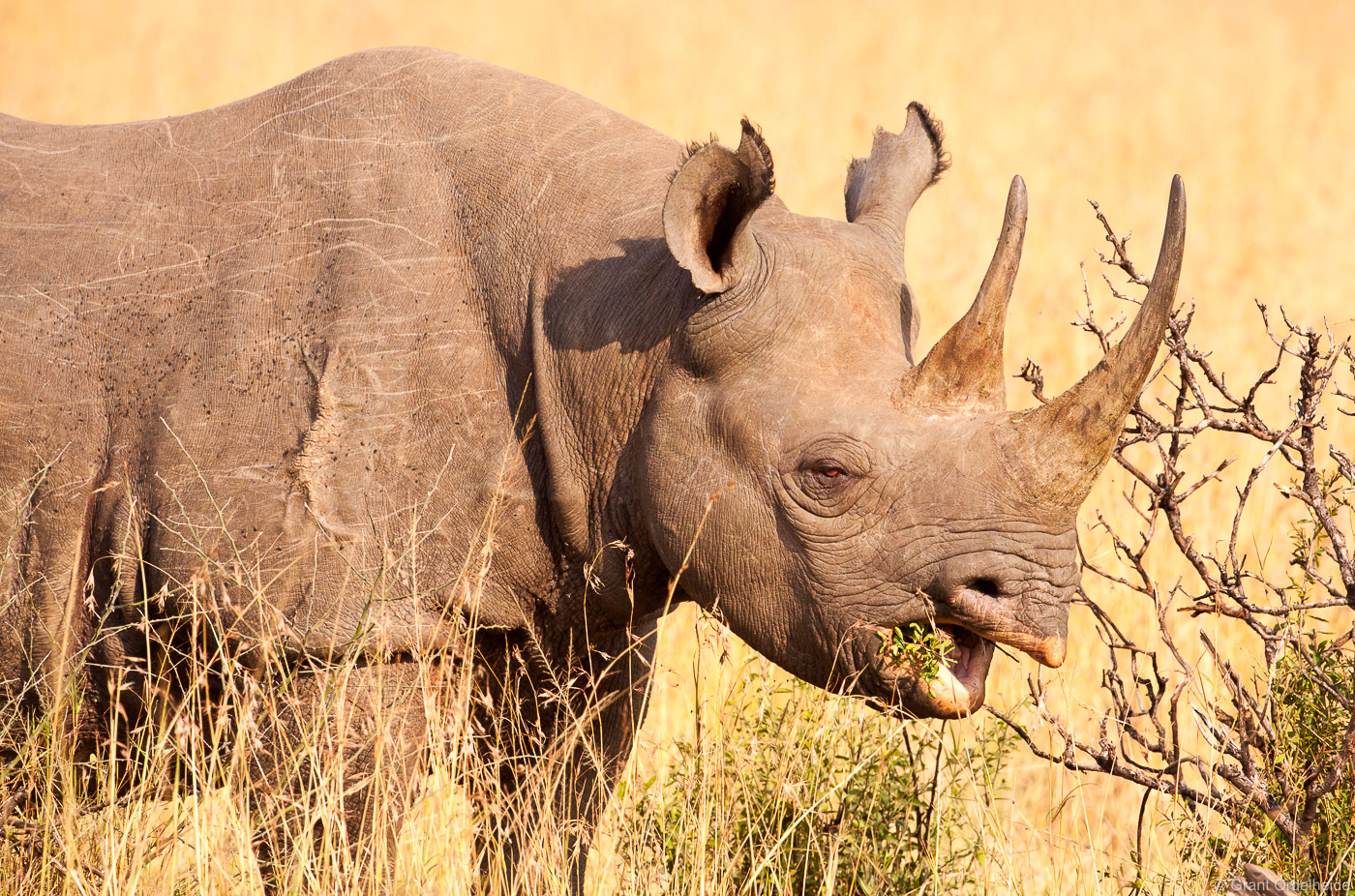 A rare black horned rhino in Kenya's Masai Mara.