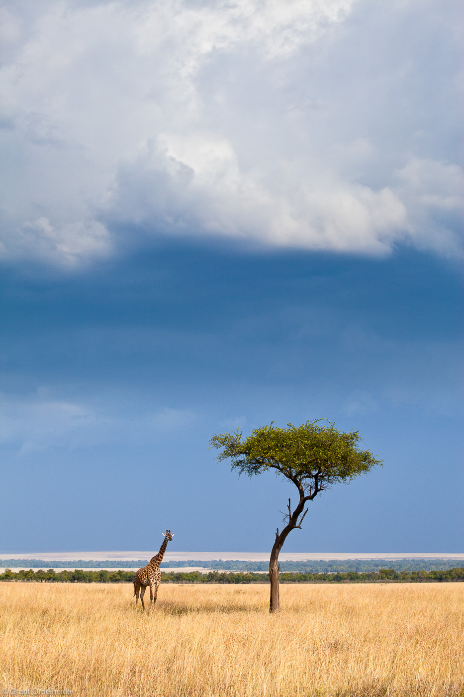 giraffe, acacia, tree, masai, mara, kenya, africa, coming, storm, under, photo
