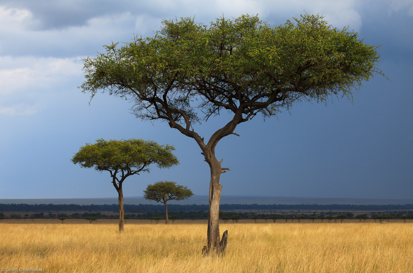 three, acacias, acacia, trees, mara, masai, safari, africa, kenya, photo