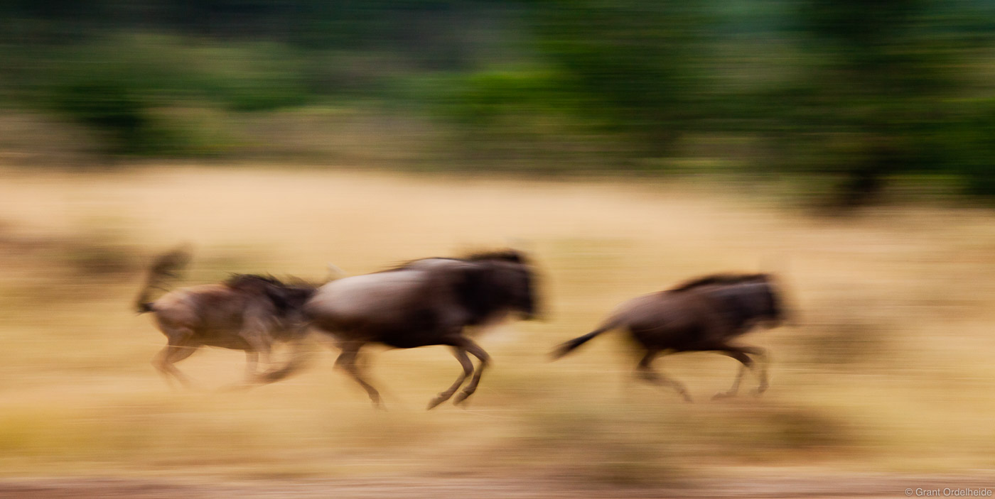 wildebeest, run, masai, mara, national reserve, kenya, africa, running, photo