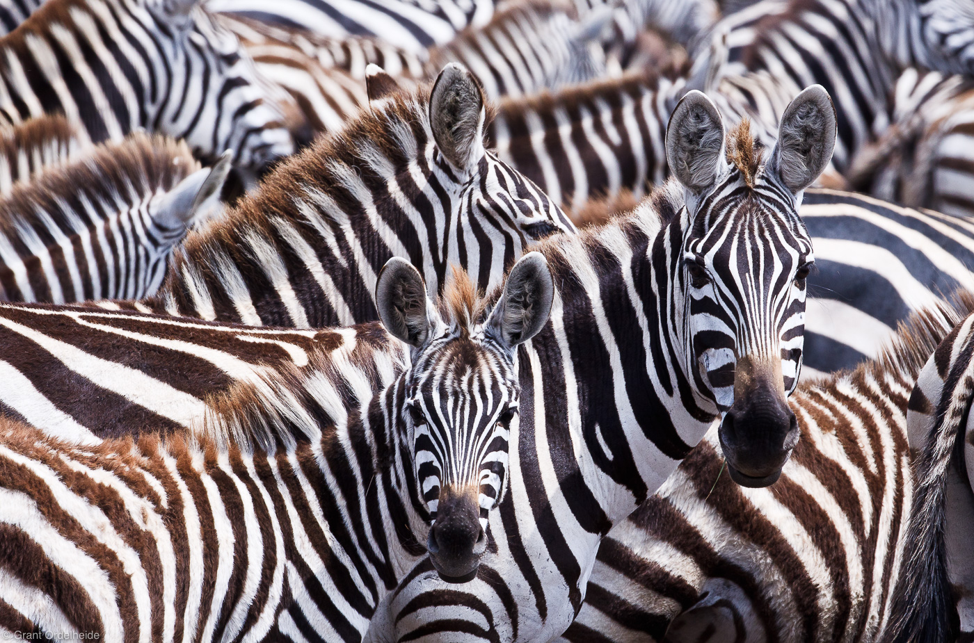 zebras, masai, mara, kenya, africa, migration, tanzania, safari, hundreds, thousands, tanzania, beautiful, incredible,
