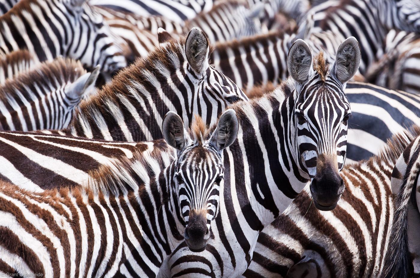 zebras, masai, mara, kenya, africa, migration, tanzania, safari, hundreds, thousands, tanzania, beautiful, incredible, , photo