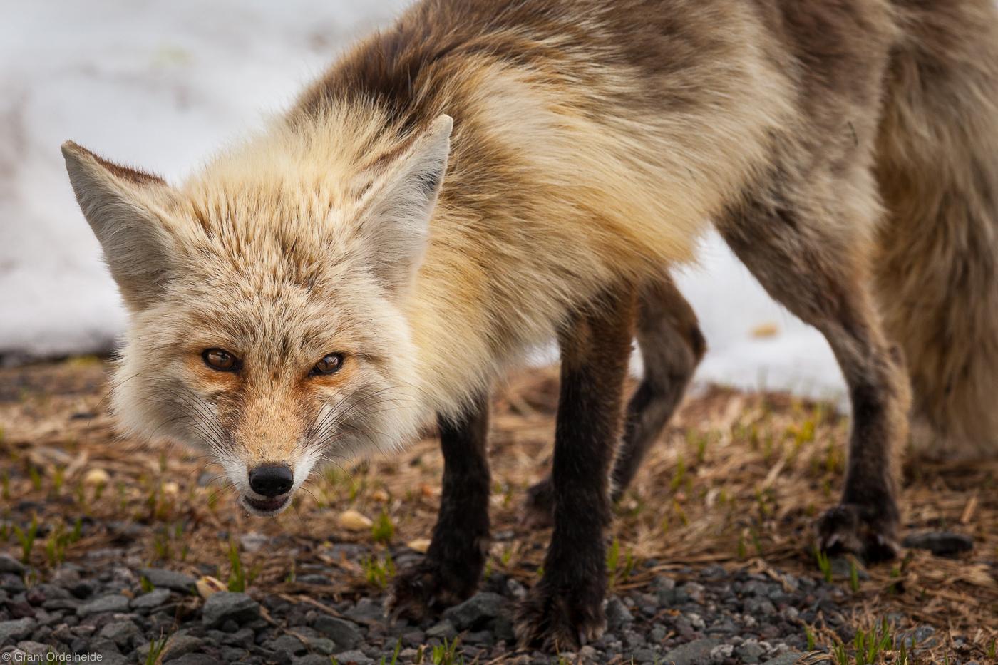 cascade, fox, sly, washington, mount, rainier, national park, photo