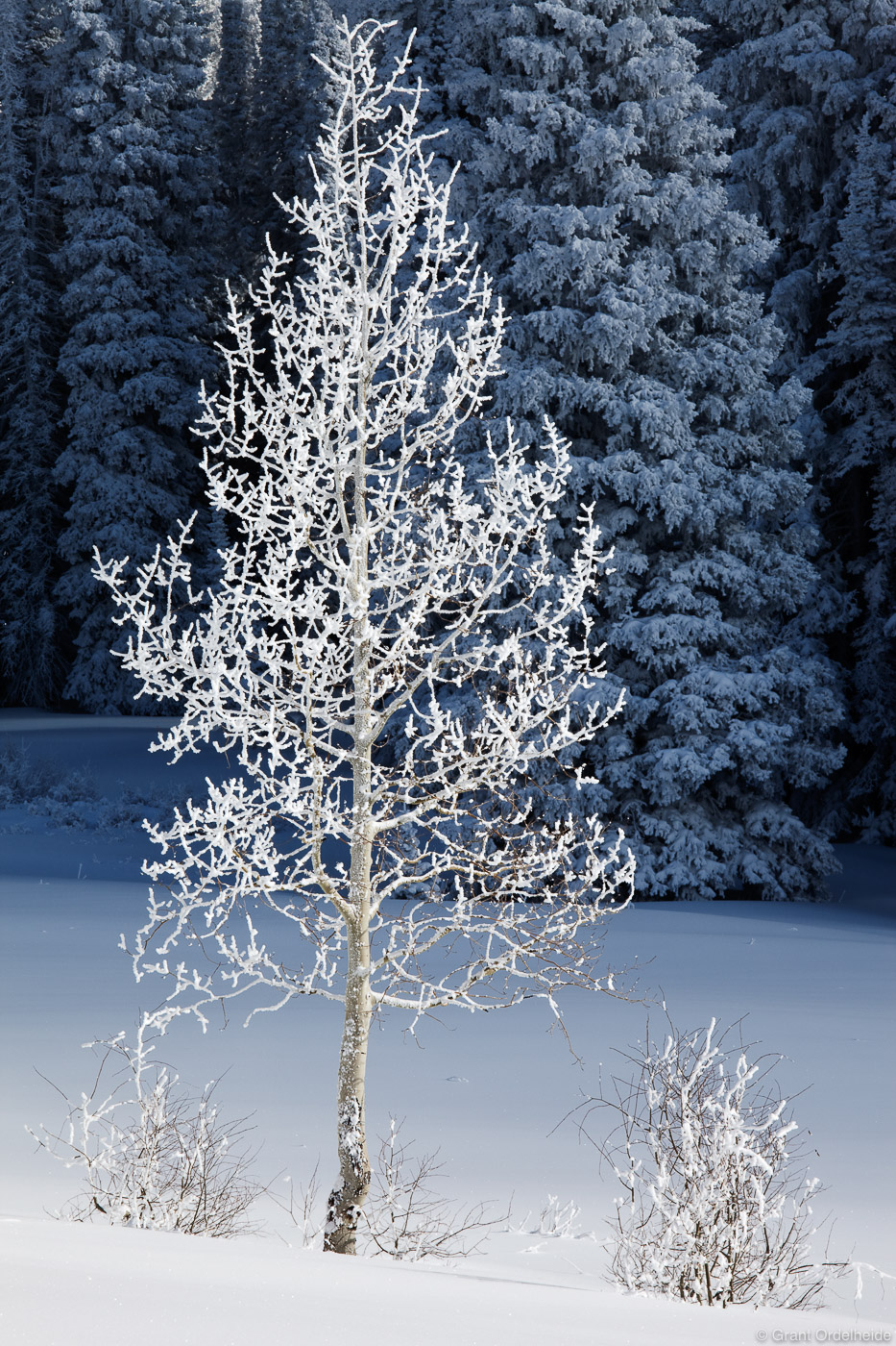A lone frosted aspen tree on Rabbit Ears Pass near Steamboat Springs.
